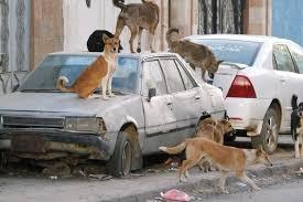 إبادة نحو 13 ألف كلب ضال بأمانة العاصمة خلال 3 أشهر
