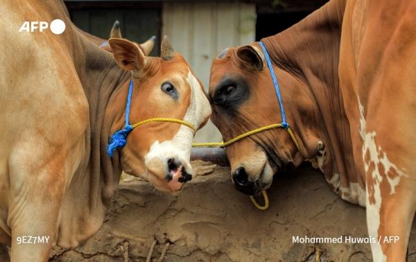 سلة غذاء اليمنيين مهدّدة: تهاوي الثروة الحيوانية
