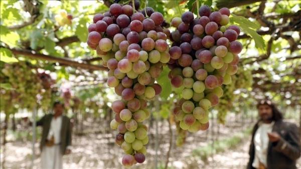 حتى العنب.. ينزف في اليمن