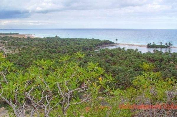 حملة مجتمعية تكافح نبات السيسبان في جزيرة سقطرى
